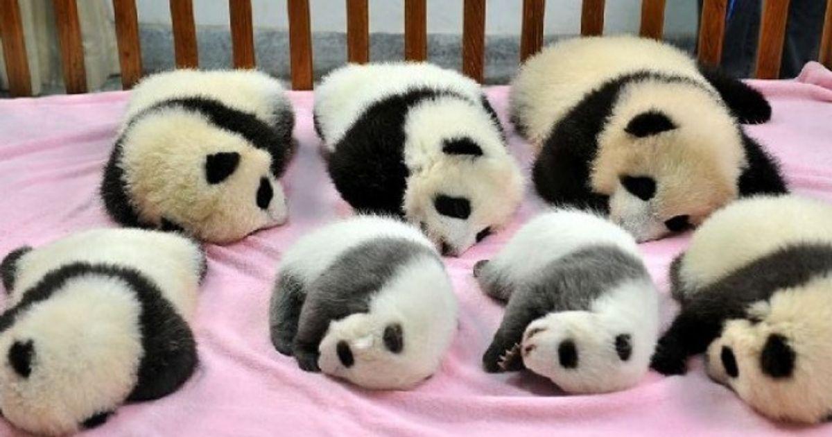 Детский сад для панд действительно существует. И, нет, вынеспите!