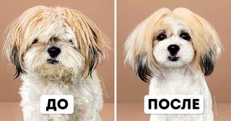 9собак, которых японская стрижка преобразила так, что теперь ихпросто неузнать