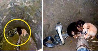 Два щенка упали вяму скоролевской коброй. Затем произошло невероятное
