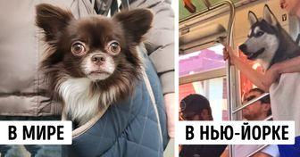 Власти Нью-Йорка запретили провозить вметро собак, которые непомещаются всумке. Ножители города выкрутились