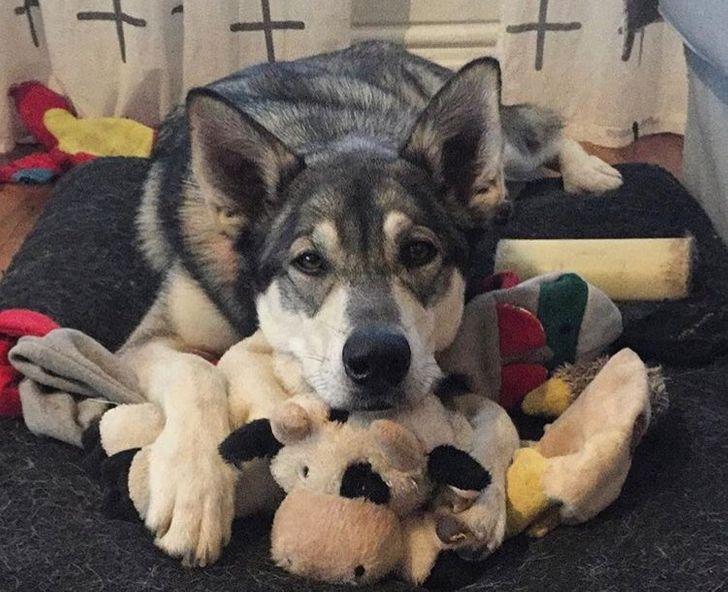 15+ трогательных фото животных, у которых особая связь с их любимыми игрушками