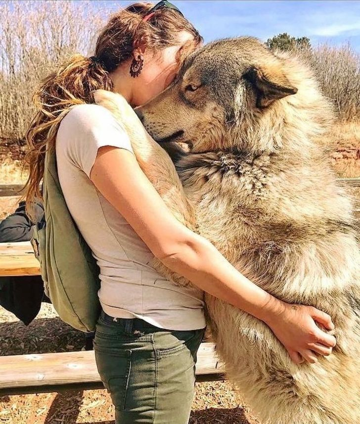16фото волкопсов, после которых хочется срочно завести большую собаку