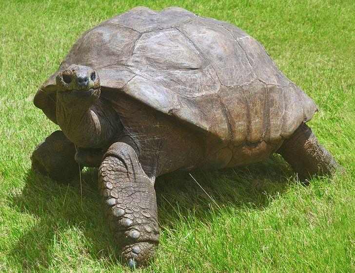 Познакомьтесь с Джонатаном — старой черепахой, которая прожила уже в 3 столетиях