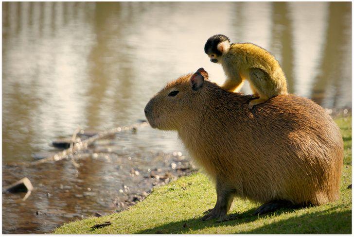 20+ доказательств того, что все животные обожают проводить время верхом на капибарах