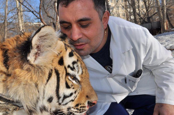 История челябинского ветеринара, который спас покалеченного тигра (А начинал он с собак и кошек)