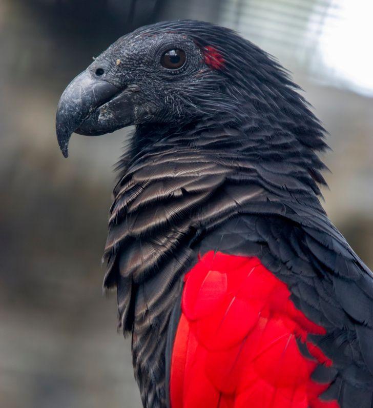 Попугай-Дракула — настоящий гот среди птиц, и его пугающая красота завораживает